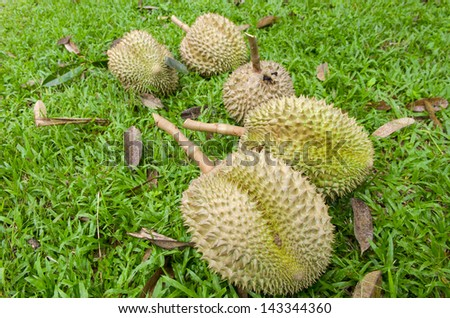 Durian,delicious famous fruit in Thailand, Close up
