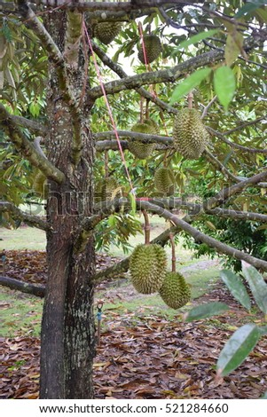 Durian on tree