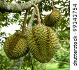 Durian trees in the garden of Chanthaburi - stock photo