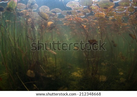 During summer months in North America, aquatic plants, such as water lilies, grow quickly. Underwater, the growth seems like an aquatic jungle and provides habitat for fish, reptiles, and amphibians. - stock photo