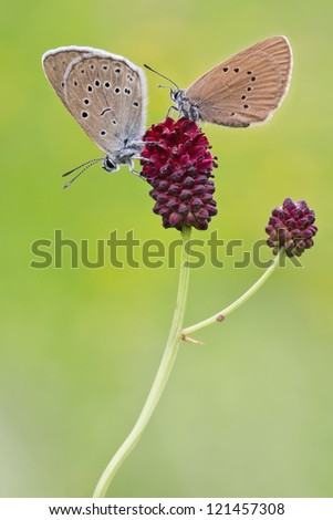 dusky and scarce large blue butterfly (Phengaris nausithous and Maculinea teleius) - stock photo