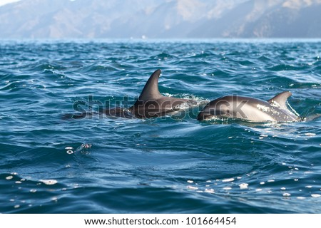 Dusky dolphins off the coast of Kaikoura, New Zealand