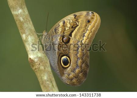 Dusky Giant Owl butterfly (Caligo illioneus) in Costa Rica rainforest - stock photo