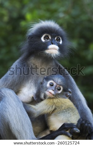Dusky langur female and baby looking at camera. - stock photo