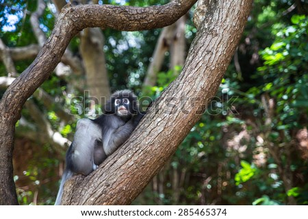 Dusky leaf, Dusky langur, Spectacled langur or Trachypithecus obscurus monkey resting on tree, Thailand