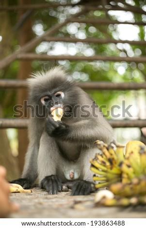 Dusky leaf monkey eating fruit  - stock photo