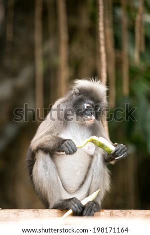 Dusky leaf monkey eating fruit. - stock photo