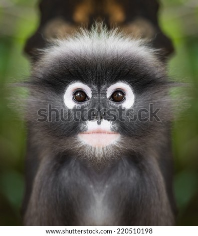 Dusky leaf monkey face close up - stock photo