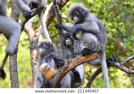 Dusky leaf monkey family