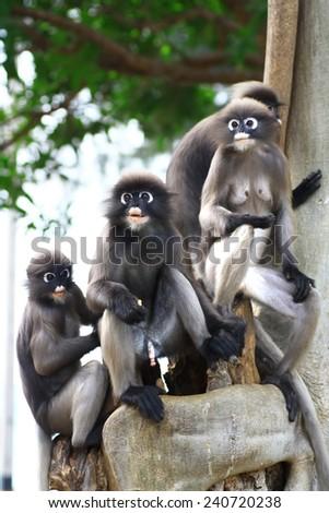 Dusky leaf monkey family - stock photo