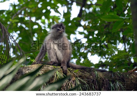 Dusky leaf monkey in the jungle