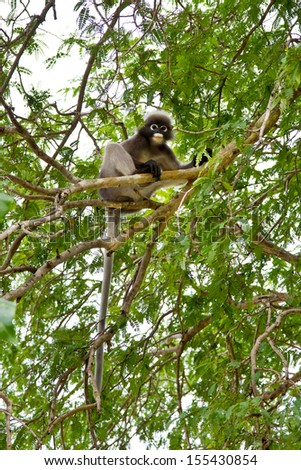 Dusky leaf monkey Spectacled langur Trachypithecus obscurus  sitting on the tree  - stock photo