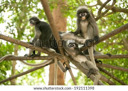 Dusky leaf monkeys - stock photo