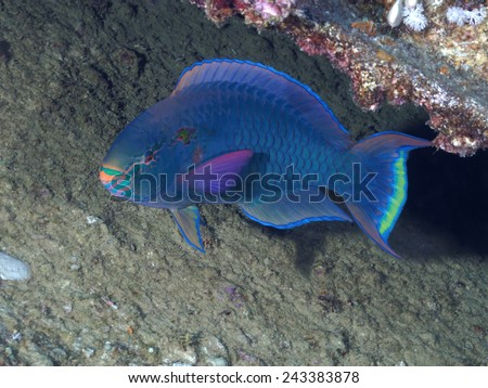 Dusky parrotfish in red sea - stock photo