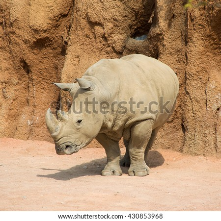 Dusty rhinoceros male, standing, starring out into the field. - stock photo