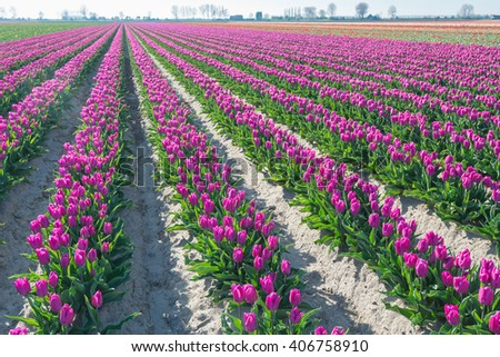 Dutch agricultural landscape with a large field with the long rows of pink blooming tulip plants of a specialized grower. It is early in the morning on a sunny day in springtime. - stock photo