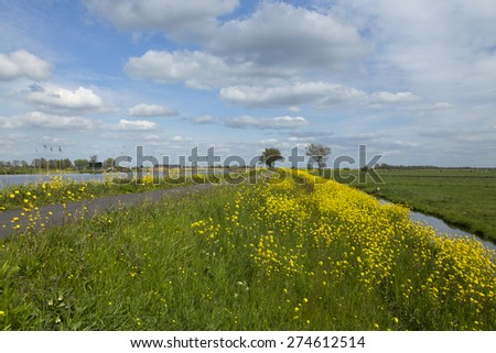 Dutch canal dike covered with Flowering Field Mustard (Brassica rapa) - stock photo