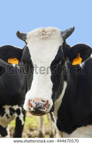 Dutch cow with yellow labels close up for background use