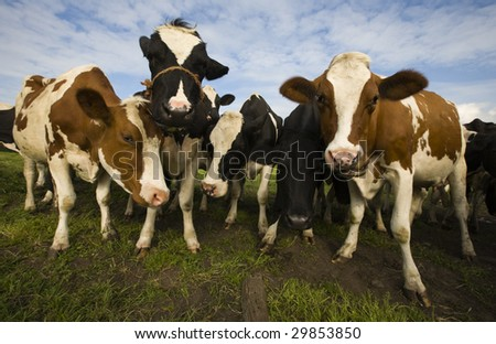 Dutch cows