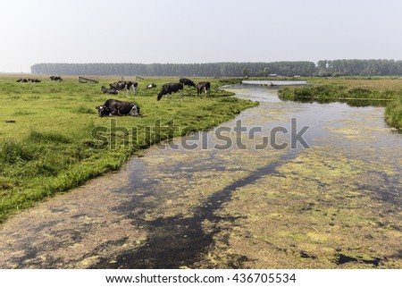 Dutch Cows graze near a canal - stock photo