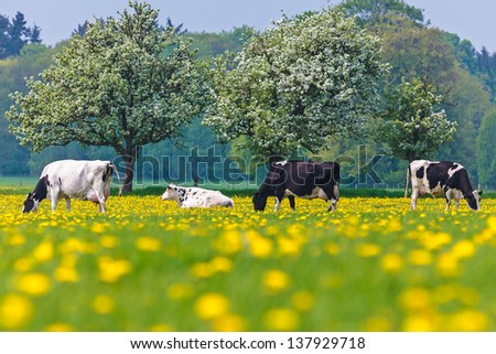 Dutch cows in a dandelion filled meadow in springtime with blossoming trees in the background - stock photo