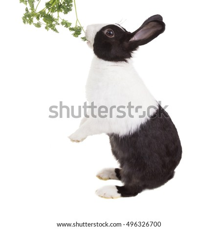 Dutch dwarf rabbit eating parsley standing on its hind legs and eye squints. Isolated on white background