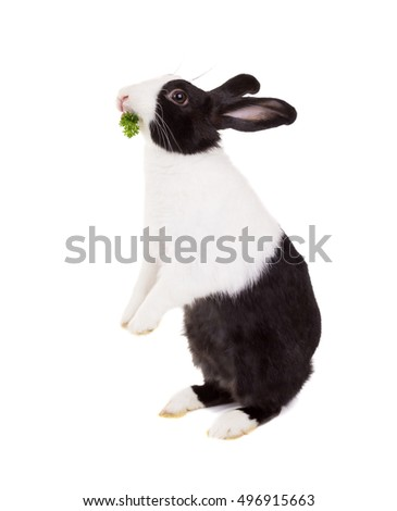 Dutch dwarf rabbit standing on its hind legs with parsley in the mouth. Isolated on white background