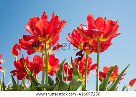Dutch field with blooming red tulips and a blue sky - stock photo