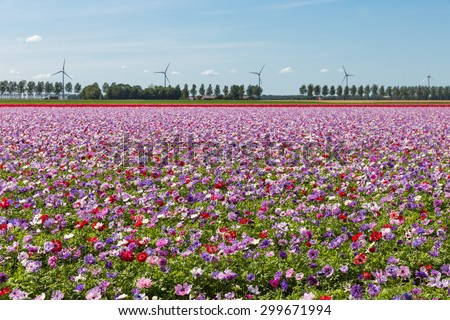 Dutch field with purple blooming  anemones and blue sky - stock photo