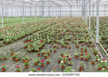 Dutch Greenhouse with cultivation of colorful flower Buttercups - stock photo