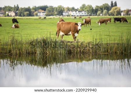 Dutch Holstein dairy cows grazing in field by a canal, the Netherlands - stock photo