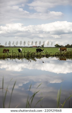 Dutch Holstein dairy cows grazing in field, the Netherlands - stock photo