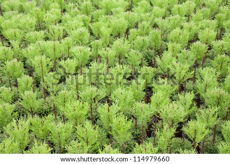 Dutch horticulture with cypresses in a greenhouse - stock photo