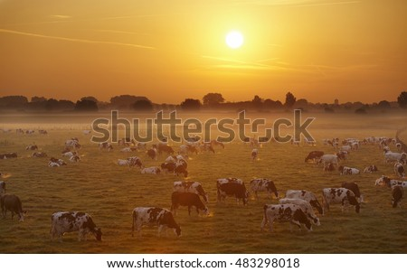 Dutch red brindled cows in morning fog and sunrise, Netherlands