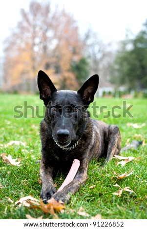 Dutch Shepherd K 9  This is Tommy he is a K 9 Police Dog. He is sitting in the grass looking at the camera. He holds his toy in his paws. Perfect for an advertisement. - stock photo
