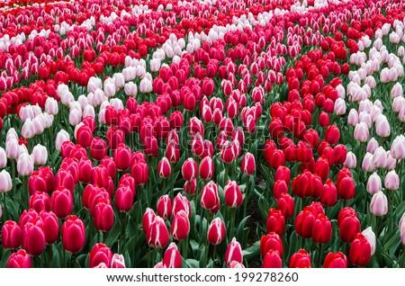 Dutch tulip field at Keukenhof - stock photo