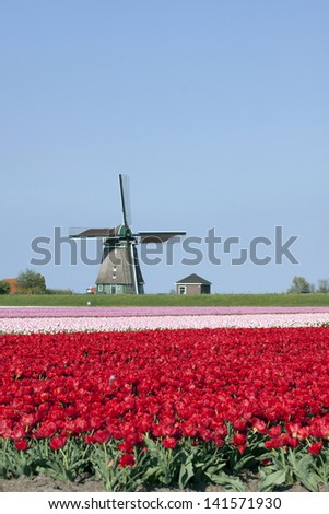 Dutch tulips and windmil  on the background - stock photo