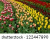 dutch tulips fields in Keukenhof garden, Holland - stock photo