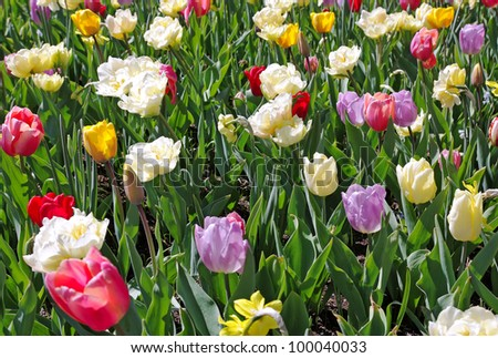 Dutch tulips in different colors.