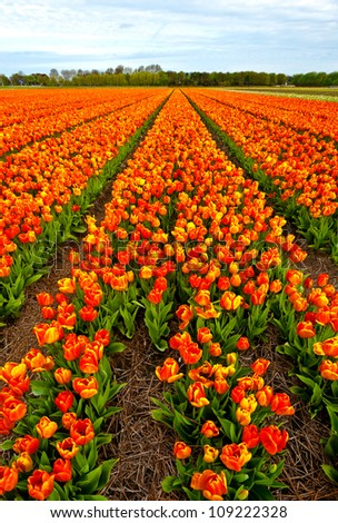 Dutch Tulips in the Field Ready for Harvest - stock photo