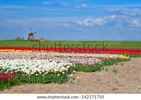 Dutch windmill and colorful tulip fields in Alkmaar - stock photo