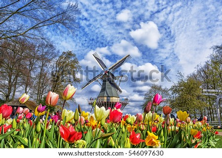 Dutch windmill and colorful tulips in spring garden of flowers Keukenhof, Holland, Netherlands.