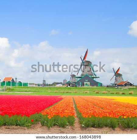 dutch windmills over tulip rows of flowers  in sunny day, Holland - stock photo