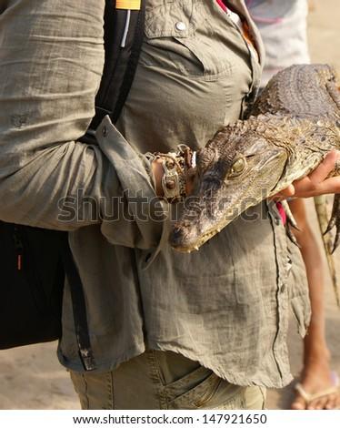 Dwarf Caiman (Palaeosuchus trigonatus) In rainforest, eastern Ecuador - stock photo