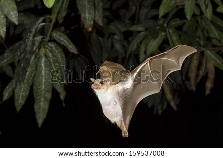 Dwarf epauletted fruit bat (Micropteropus pussilus) flying at night, Ghana. - stock photo