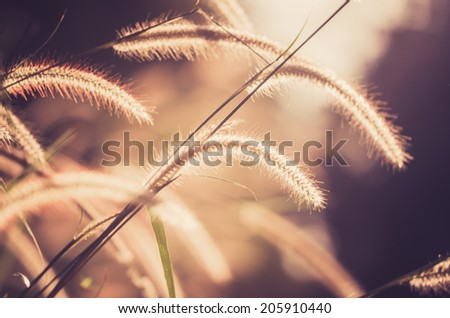 Dwarf Foxtail Grass or Pennisetum alopecuroides weed plants flowers vintage - stock photo
