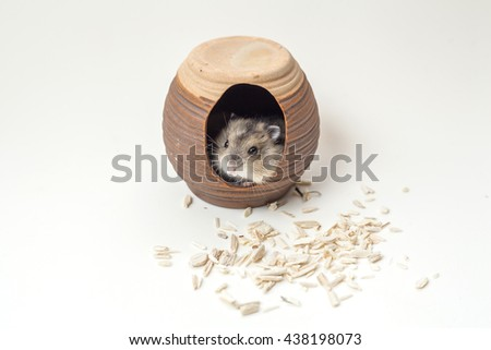 Dwarf hamster on Sawdust  white background, thailand