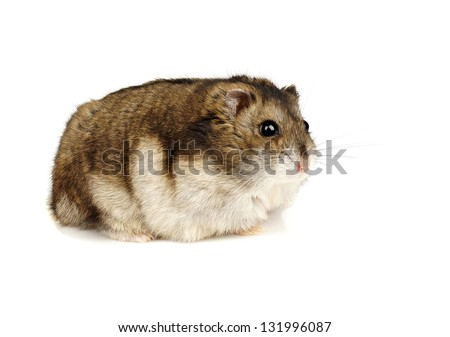Dwarf Hamster on White Background