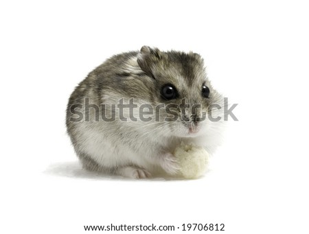 Dwarf hamster seat with bread on white background - stock photo