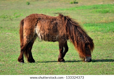 Dwarf Horse eating grass